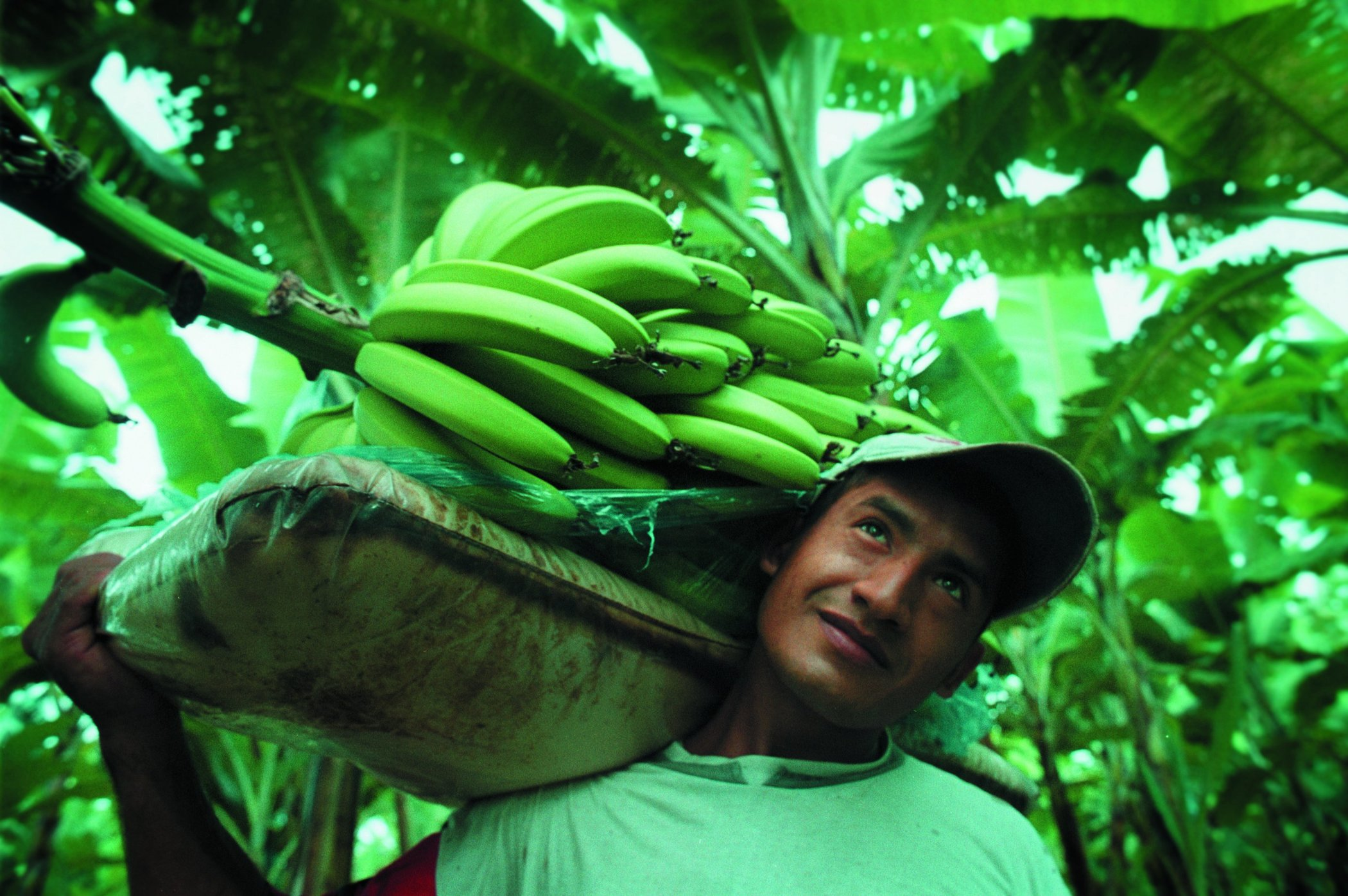 harvesting banana Banana production guide a) importance of banana the banana is an important economic resource for rural farmers in uganda properly staked banana f) harvesting.