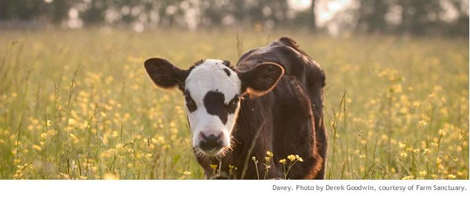 cows1_main
