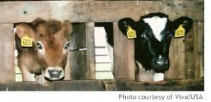 dairy_calves