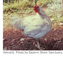 harold_chickens1_sub
