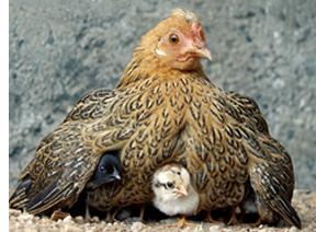 hen_babies