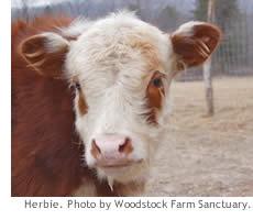 herbie_cow